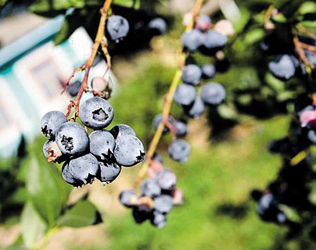 Органічну лохину з Вінниччини експортуватимуть до Європи